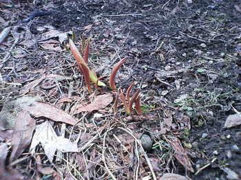 春の花チューリップ発芽画像